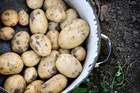Как получить молодой картофель в апреле-мае