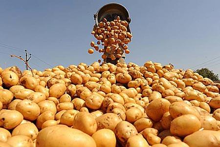5 ведер картофеля с куста