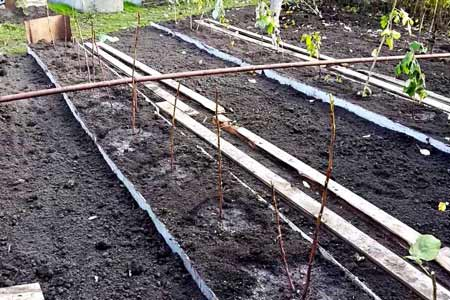 Как ограничить разрастание малины на участке