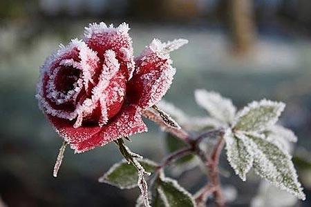 Закаливание роз