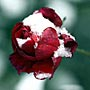 Как закаливать розы