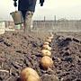 Какие есть способы посадки картофеля