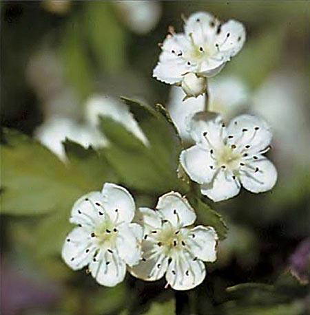 Цветение боярышника