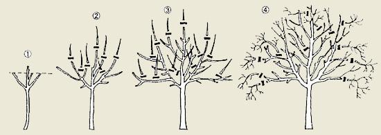 Схема обрезки плодовых деревьев осенью