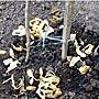 Как использовать картофельные очистки для смородины