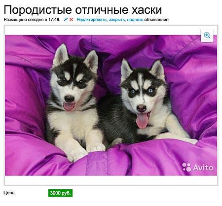 Породистые хаски за 3000 рублей ездят только на иномарках за 149000