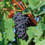 Как приготовить вкусности из винограда