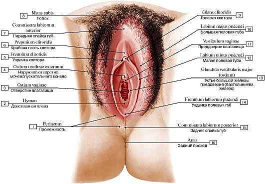 Путеводитель по женским гениталиям